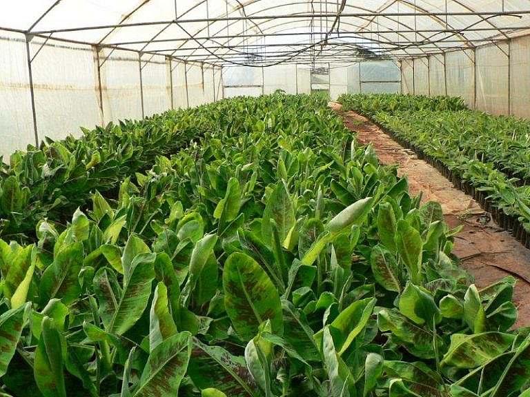 Banana plants